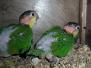 Caiques à cuisses vertes élevés par les parents