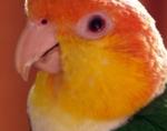 Caique à tête orange (18)