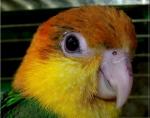 Caique à tête orange (25)