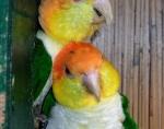 Caique à tête orange (4)