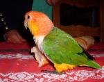 Caique à tête orange (8)