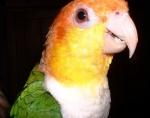 Caique à tête orange (9)