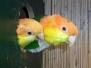 Caiques à tête orange