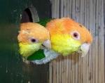 Caique à tête orange