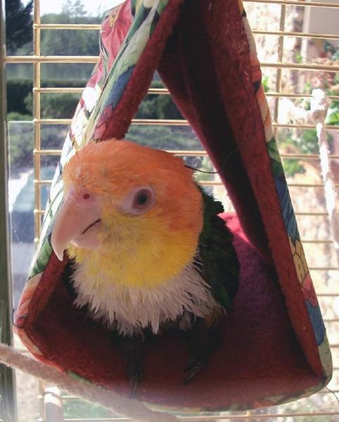 A l'intérieur des cages pour perroquets caïques