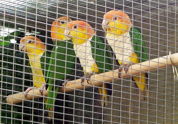 Caiques élevés par les parents EPP - 2e sortie du nid