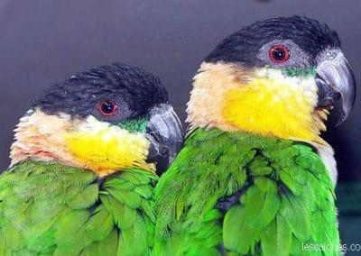 caique-tete-noire (24)