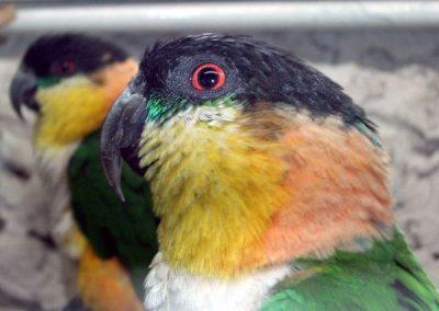 caique-tete-noire (31)